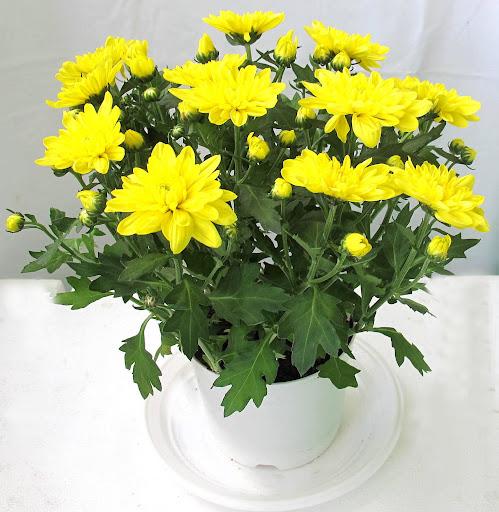 Cách cắm hoa cúc vàng để bàn thờ phổ biến và dễ làm